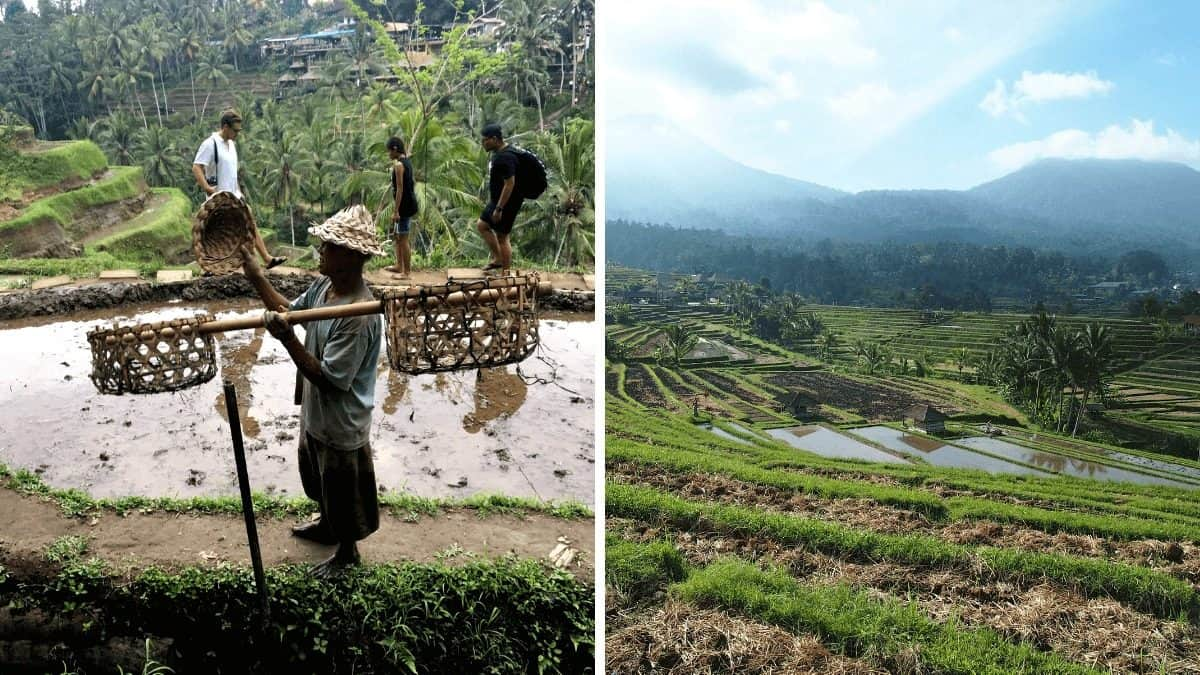 Bo wyspa Bali pachnie ryżem… – tarasy ryżowe Tegalalang i Jatiluwih na Bali
